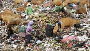 Scavengers are seen to be picking waste amongst cows in Suwung landfill, Denpasar. Source: NusaBali.com/HENDRA